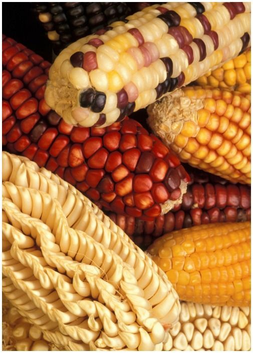 Gmo Foods Corn Genetically Modified Food Organic Vegetable