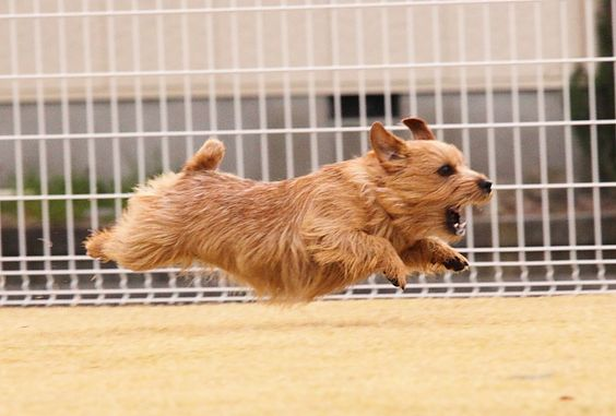 "NORFOLK TERRIER- This is exactly what my puppy looks like chasing the ""big dogs"" at the dog park!!"
