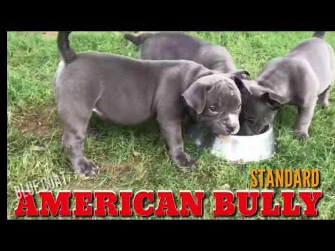 Blue Coat American Bullies Heavy Quality Standard Size Puppies For