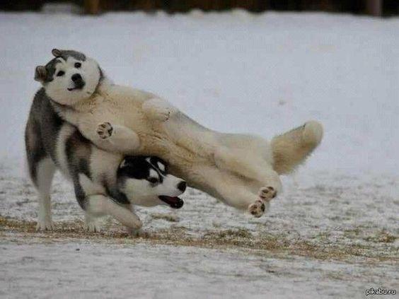 El husky haciendo contacto completo | Las 30 mejores fotobombas de animales de 2013
