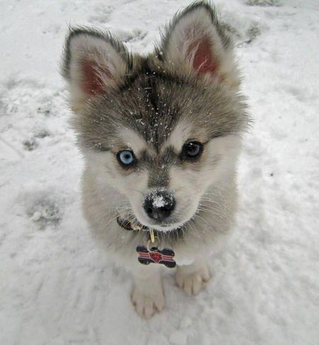 Alaskan Klee Kai... aka mini husky!!! I NEED!