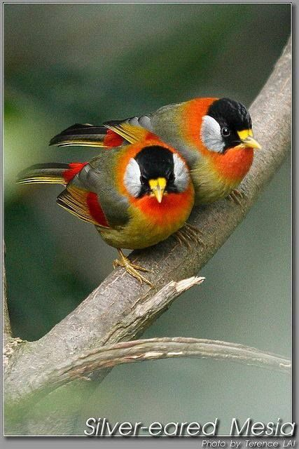 Silver-eared Mesia. Native to northern and eastern India, Thailand, Southeast Asia, Malaysia Sumatra.