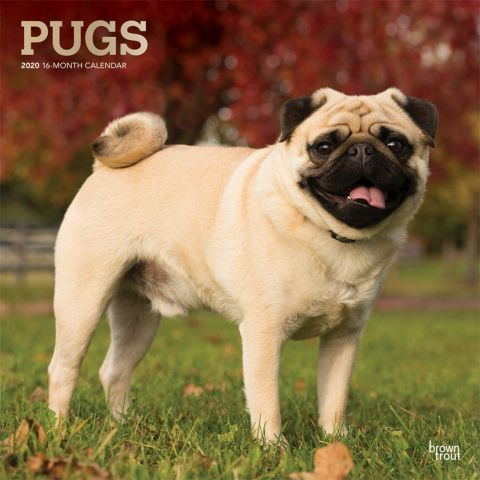 2020 Pugs Calendars A Small Confident Dog The Pug Is One Of The