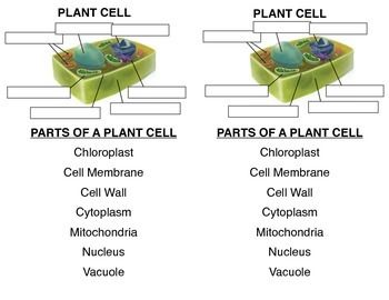 This quiz on organelles in a plant cell corresponds with ...