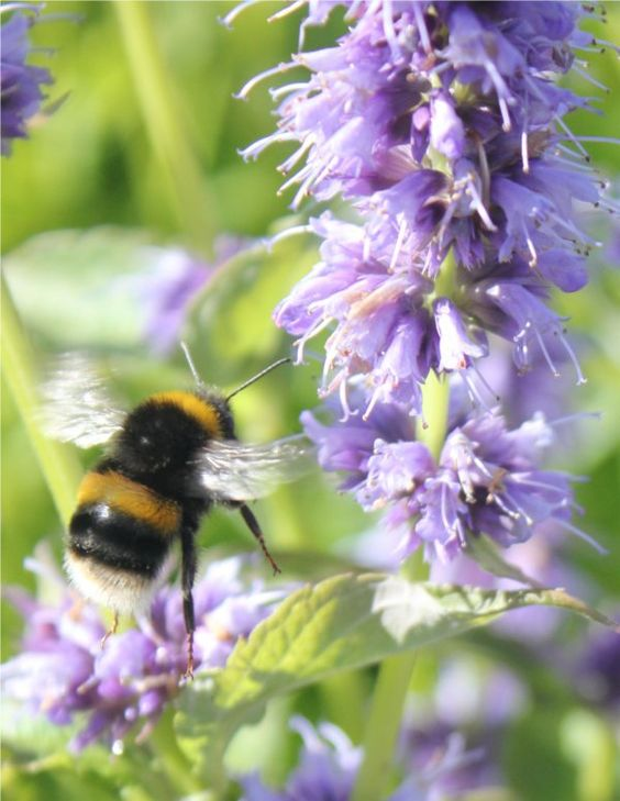 A Bumble Bee landing on Agastache 'Blue Fortune' July 2012