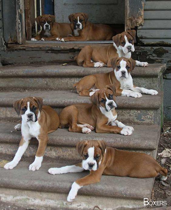 Boxerdogsoninsta Boxerdogsofinstragram Boxer Puppies Boxer Dogs Boxer Puppy