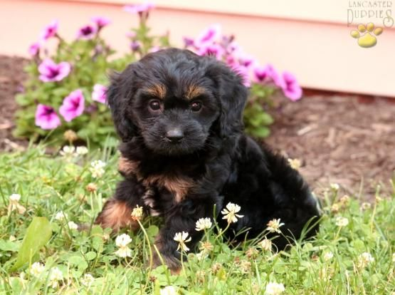 Xena Poodle Mix Puppy For Sale In Narvon Pa Lancaster