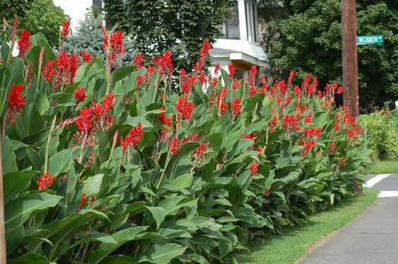 Canna lilies look great in a summertime hedge. But they're not very cold-hardy, meaning they'll die in the North if you leave them out in winter. So how should you bring your canna bulbs indoors to overwinter them? Here are the steps to take: http://landscaping.about.com/od/tropicalplants/f/store_cannas.htm