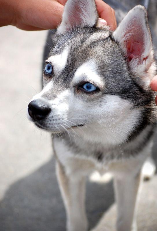 Pin By Alaskan Klee Kai Love On Klee Kai Blue Eyes Dogs Herding