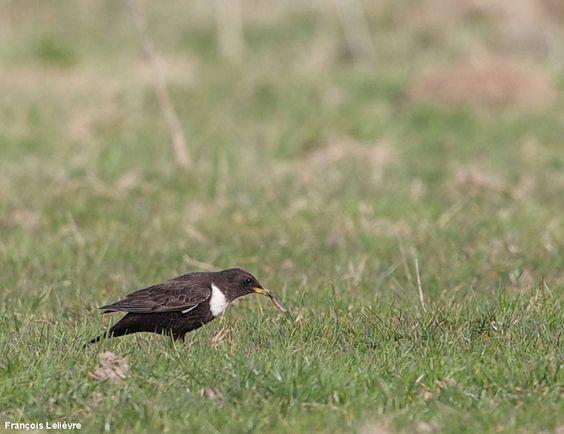 Avril, un bon mois pour observer le Merle à plastron en migration    Photographie de François Lelièvre : Merle à plastron (Turdus torquatus) nordique mâle à Boisemont le 7/04/2013.   #ornithologie   #oiseaux   #nature