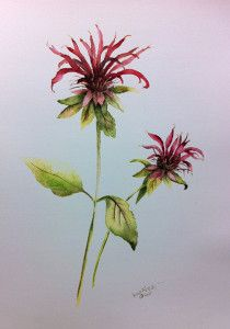 5 Spellbinding Perennials for a Magic Garden. Amy F captured bee balm's firework-like flower in this watercolor painting. Check out all 5 magic plants at http://www.spottsgardens.com/5-spellbinding-perennials-for-a-magic-garden/