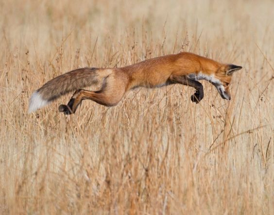 Taken by Stefanison, shows a red fox leaping through a field.