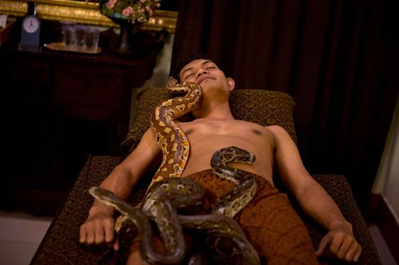 "TO GO WITH AFP STORY INDONESIA-HEALTH-ANIMAL-SNAKE, FOCUS BY SAMUEL REEVES In this photograph taken on October 30, 2013, pythons slither over Indonesian customer Ferdi Tilukay, a 31 year old accountant, for a ""snake body massage"" session at the Bali Heritage Reflexology and Spa located in the Indonesian capital city of Jakarta. Lying on a massage table at a spa in the Indonesian capital Jakarta, Feri Tilukay closed his eyes and smiled blissfully as three enormous snakes slithered all over…"
