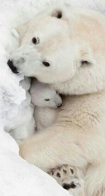 Protected and Warm With Mother Bear!