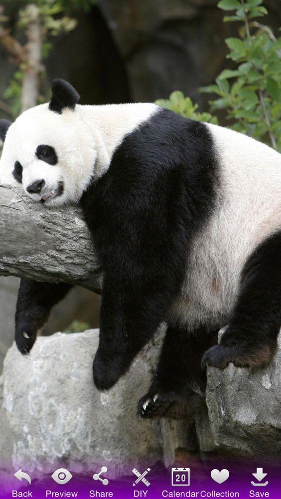 Panda awnn