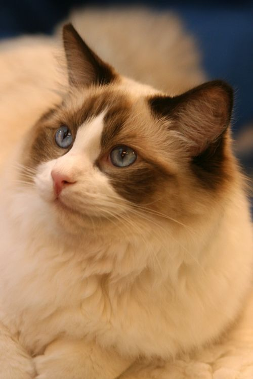 Ragdoll Blue Eyes By Sannas On Deviantart Beautiful Cats Pictures Beautiful Cats Cute Cats