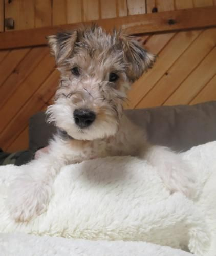 Awesome Wire Hair Terrier Rescue Groups Ideas - Electrical Circuit ...