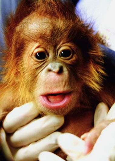 A Special Delivery: The Birmingham Zoo and two local obstetricians deliver a baby orangutan (Jan 2012)