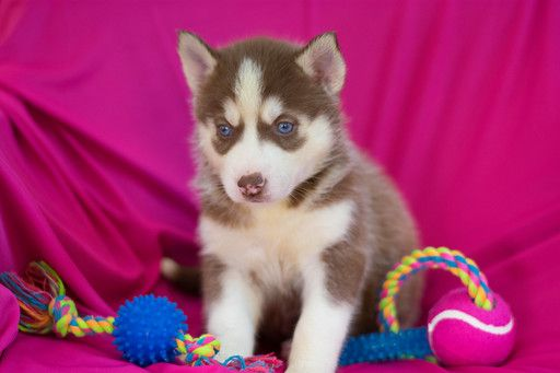 Siberian Husky Puppy For Sale In Kent Oh Adn 62366 On