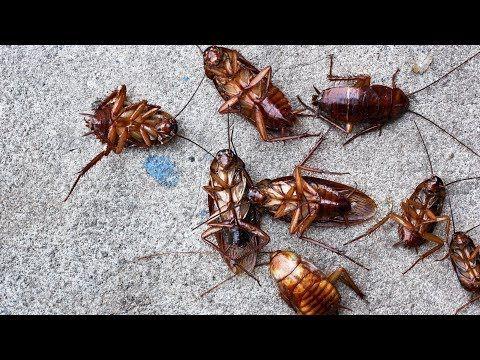 Esta Es La Solución Definitiva Para Matar Cucarachas Remedios Caseros Para Las Cucarachas Youtube Termite Control Termites Termite Treatment