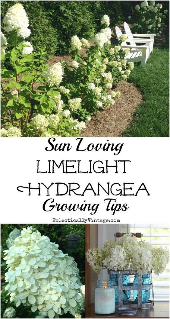 Limelight Hydrangea Growing Tips - there's nothing better than cutting arm loads of hydrangeas to bring indoors all summer long. Use a unique vase like this galvanized metal bottle carrier from HomeGoods filled with blue mason jars to show off your blooms eclecticallyvintage.com sponsored pin