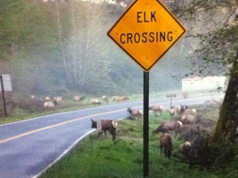 Elk crossing!