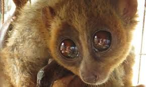 Image result for slow loris