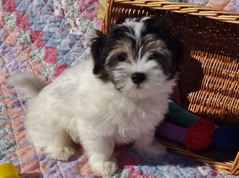 Litter Of 6 Havanese Puppies For Sale In Crystal River Fl Usa