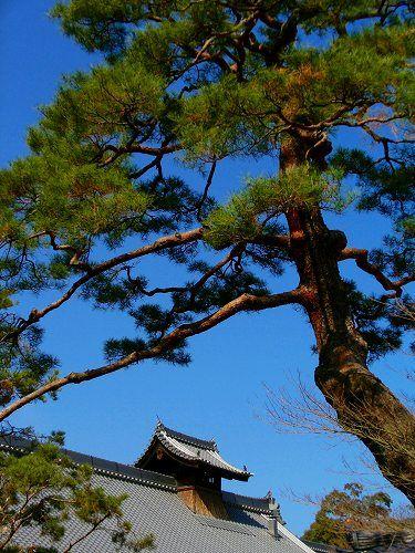 金閣寺:庫裡と松