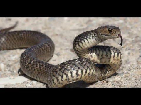 Ruyada Yilan Gormek Videolu Ruya Tabirleri Avustralya Hayvanlari Yilan Yilanlar