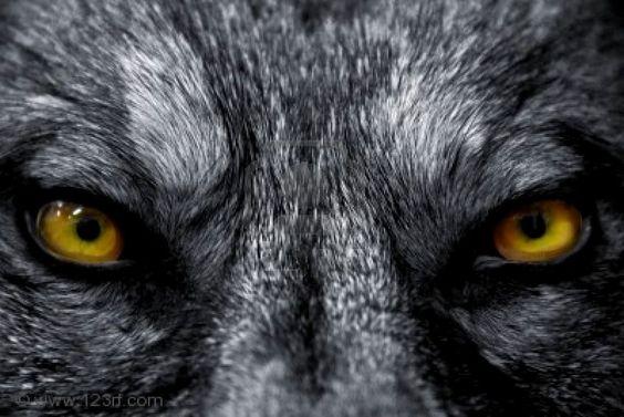 yeux-loup.jpg