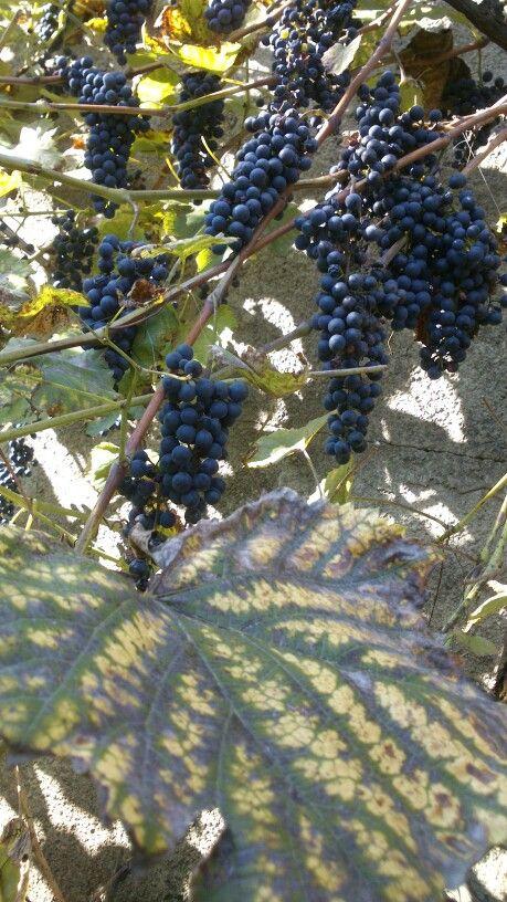 Autumn grapes in my garden