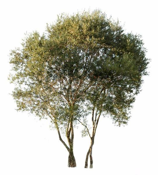 Olea Europaea Sylvestris Tree Textures Tree Render Trees To Plant