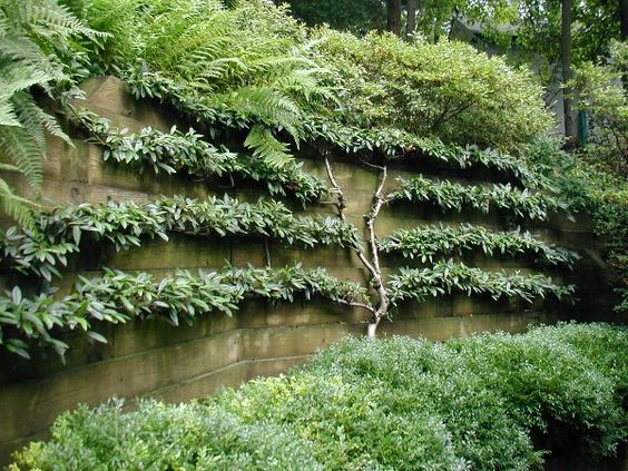 espaliered cotoneaster