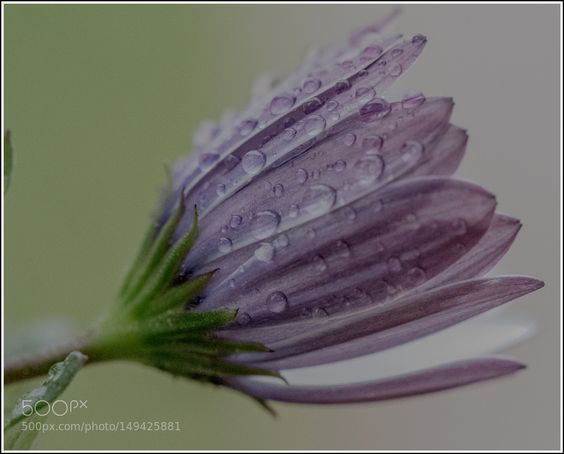raindrops flower by Mite. @go4fotos