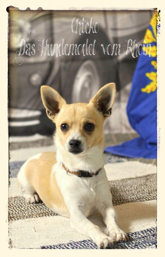 "Chicko - Gewinner des Fotoshootings ""Vive le chien! Das Hundemodel vom Rhein"" & Hundemodel im Kalender ""The Calendar Dogs"" 2015"