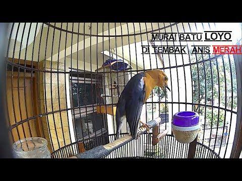 Anis Merah Vs Murai Batu Youtube Burung