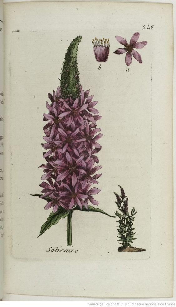 LYTHRUM - Lythrum salicaria. La salicaire