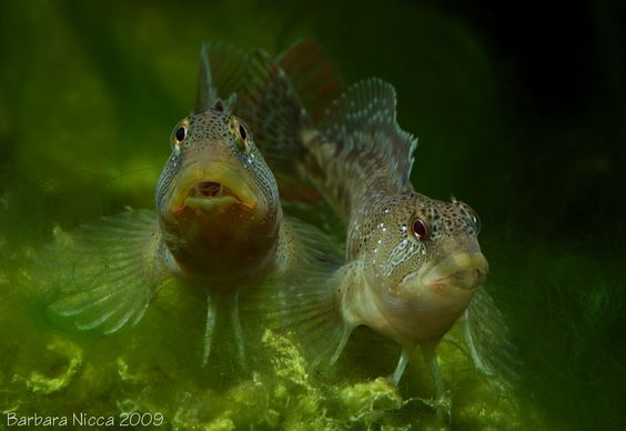 "Salaria fluviatilis (""Freshwater"" Blenny) - ~5-6"" freshwater Blenny from the Mediterranean. More for brackish water."