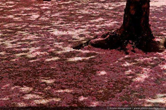Pétales de cerisier recouvrant le trottoir...