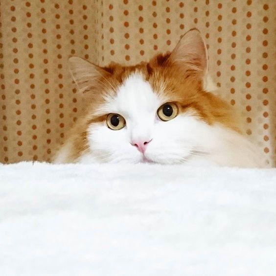 いつも帰りが遅いにゃ  #お疲れ様 #猫 #ねことの生活  #にゃんこ #にゃんすたぐらむ  #にゃんだふるらいふ  #ネコ部 #ねこ部 #マンチカン #ハチワレ #ふわもこ  #モフモフ部 #nekos  #neko #nekostagram  #lovecatsforever  #love #loveneko  #ilovecats #ilovemycat #instagood #instalike #instacat #cats #cat  #catsofinstagram #catstagram #kitty by pooh_rin_milk