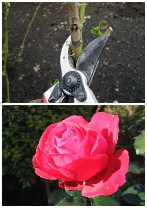 5 Steps To Pruning Your Roses Correctly Prune Backyard Vegetable Gardens Tomato Pruning