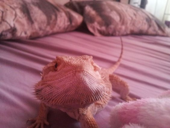 My bearded dragon taking a pose