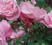 How to Make a Climbing Rose Look Fuller