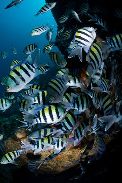 While these regal damselfish are inarguably difficult to raise, an enterprising marine fish breeder embraces and successfully meets the challenge of rearing them, an accomplishment that will no doubt aid in their commercial aquaculture.