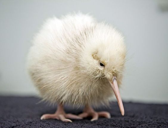 Polluelo de Kiwi blanco.