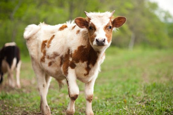 What Is Livestock Insurance Scheme In India
