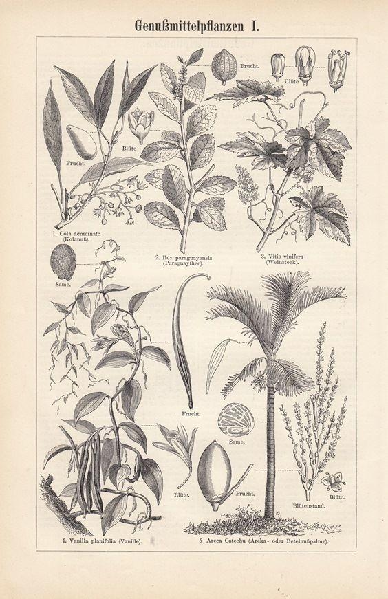 1899 * Genußmittelpflanzen Kaffee Tee Hopfen 3 Original Drucke / Antique Prints