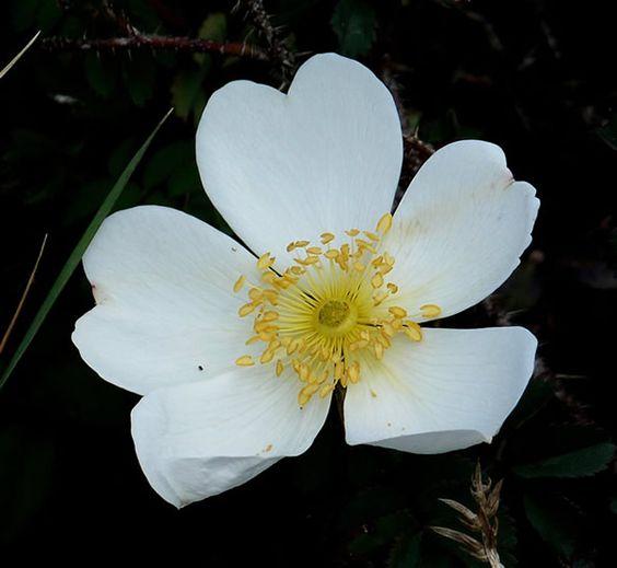 photo : fleur rose pimprenelle | rosas-roses | pinterest