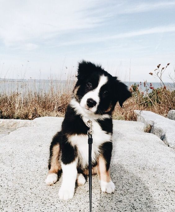 Border Collie Pup Cute Dogs Breeds Dog Breeds Emotional